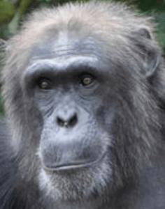 western chimpanzee - P. troglodytes verus