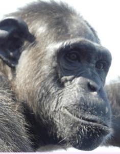 central chimpanzee P. troglodytes troglodytesk