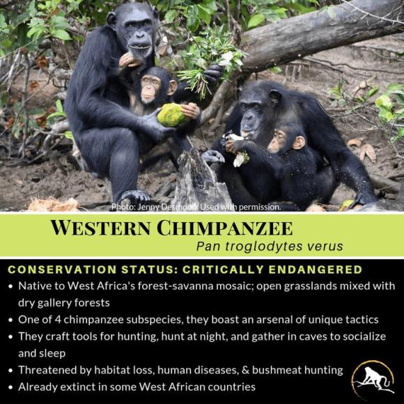Western chimpanzee, P. troglodytes verus - by New England Primate Conservancy