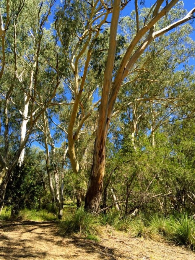 eucalypts of the Lemon Tree Flats