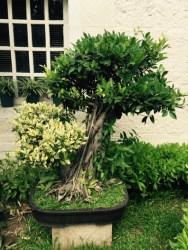 bonsai in manila