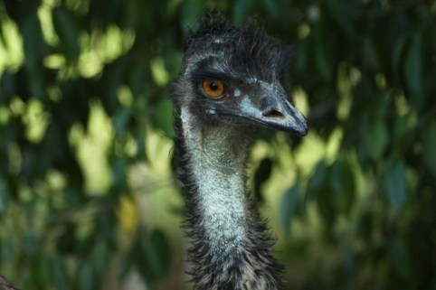 Emu at Mareeba Wetlands yesterday was wandering about with his six chicks ... 30/11/2011