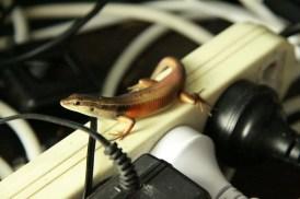 yay my friend the rainbow lizard is back; he kept me company last wet season on my powerboard ... 30/10/2011