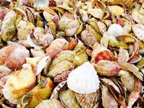 beautiful scallop shells of gigantes