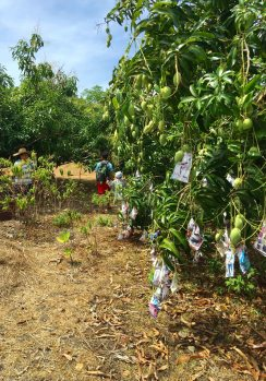 picking mangoes