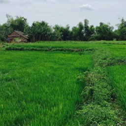 rice in the wet season