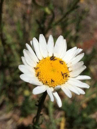 new england daisy