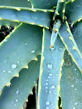 rainy-succulents