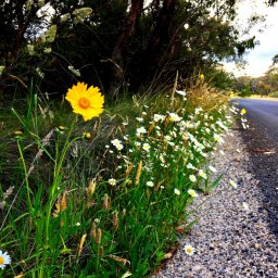 roadside-wildflowers
