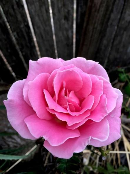 rose in mum's garden