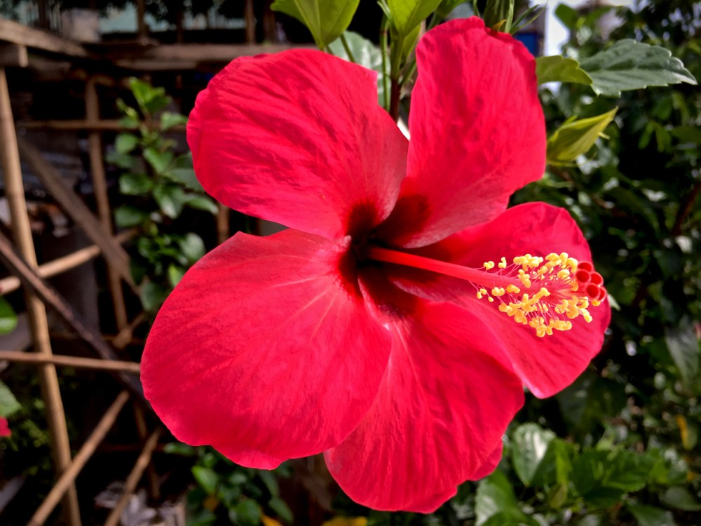 bright red hibiscus flower