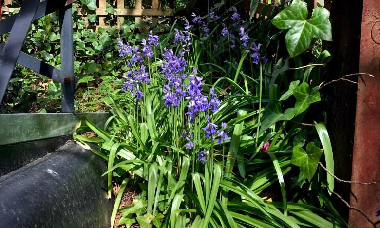 little purple flowers in a graden
