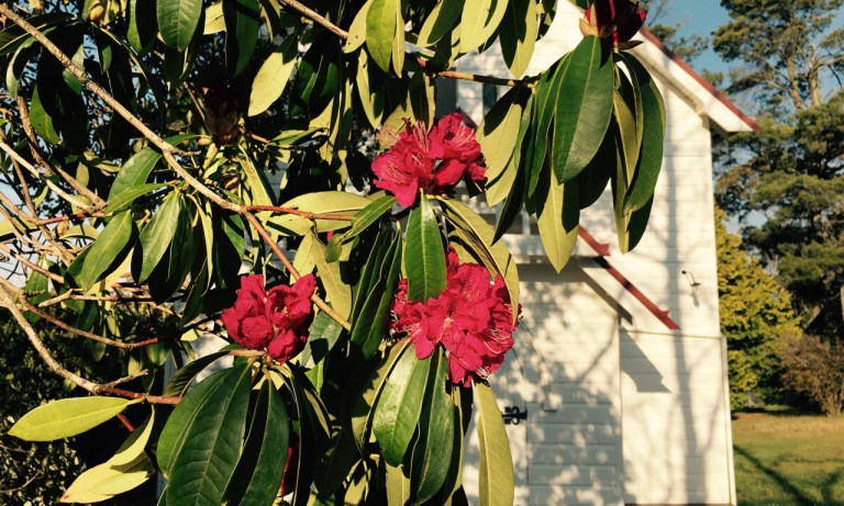 Pink Rhododendrons in Blackheath