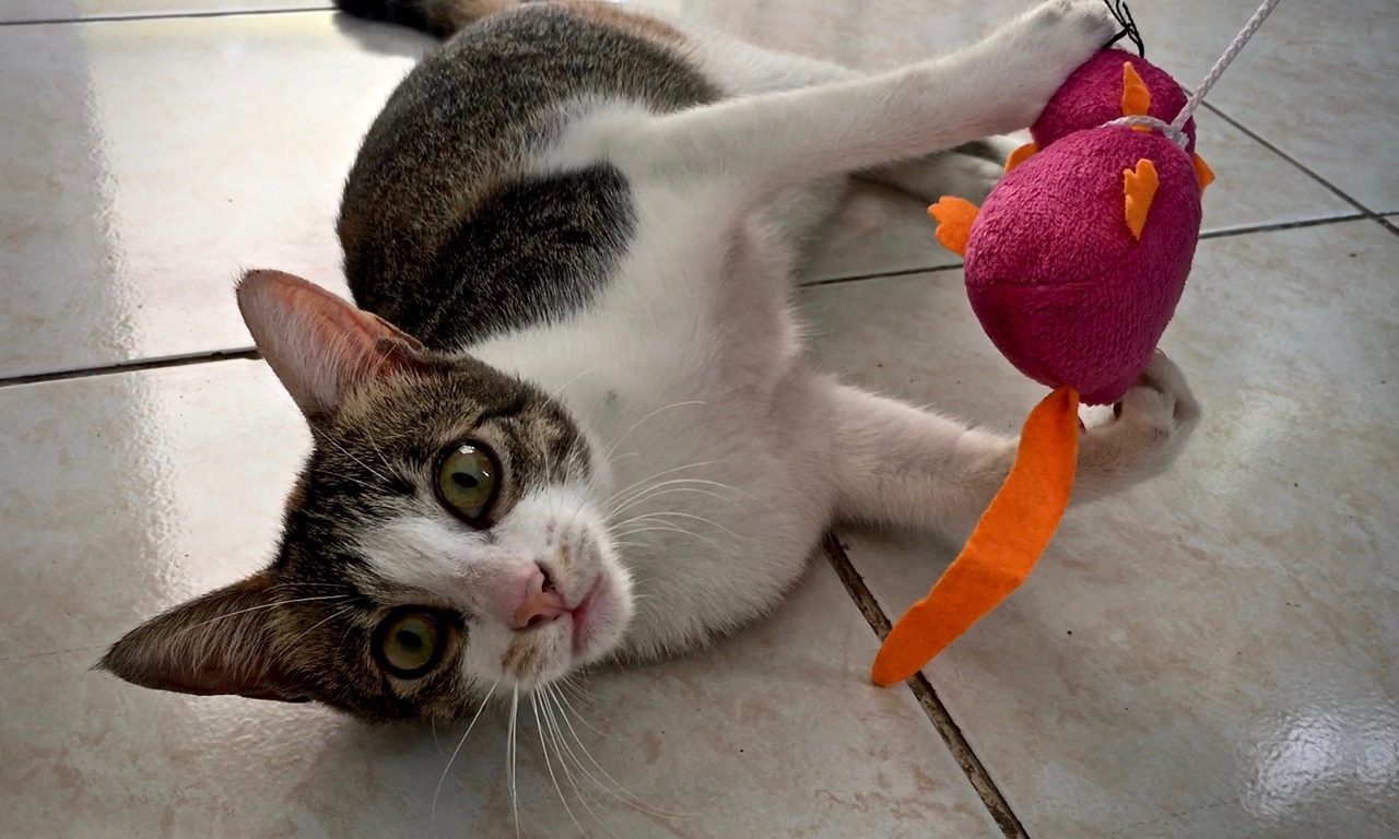 cat with a toy mouse