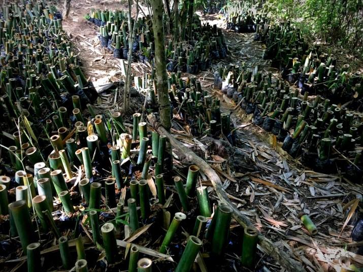 larger bamboo nursery