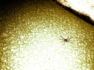 spider in the kitchen