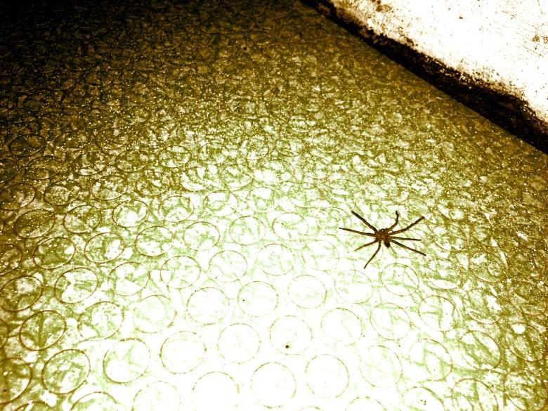 spider in the kitchen