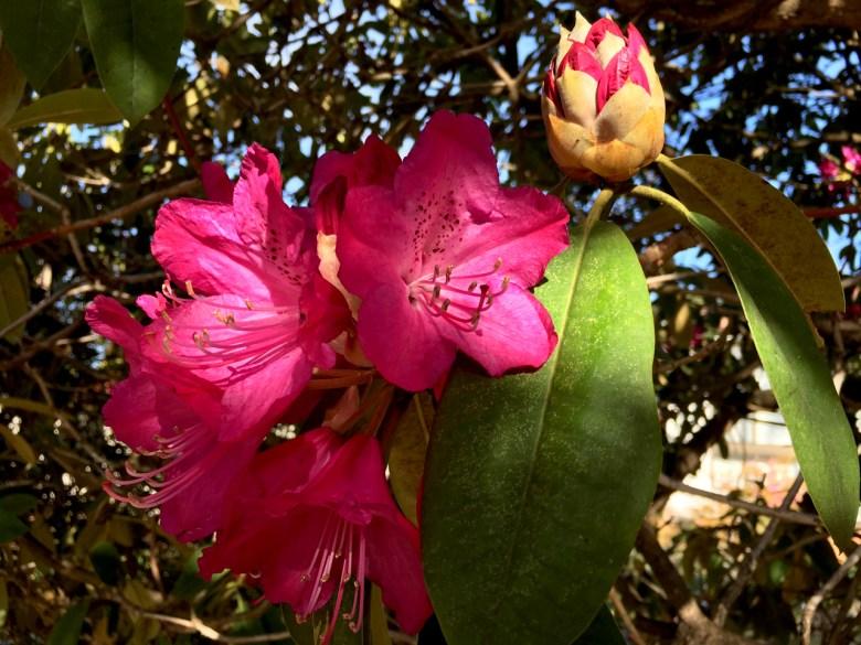 rhododendrons blackheath