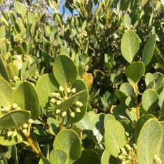 salt mangrove