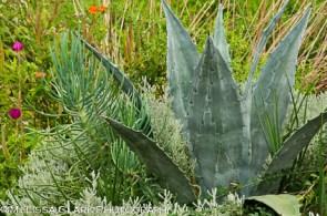 Chanticleer Garden, agave