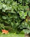 Chanticleer Garden, Ginkgo biloba
