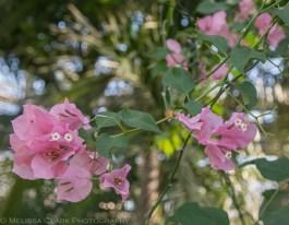 US Botanic Garden, bougainvillea 'Salmon'