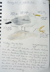 Herring Gull 052617
