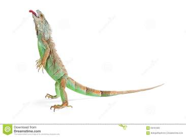 funny-iguana-standing-tongue-out-beautiful-green-lizard-up-white-background-head-up-sticking-66161833