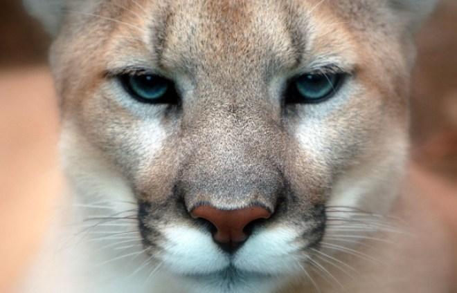 mountain lion.01