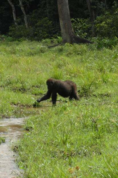 Gorilla at Bai Hokou in CAR