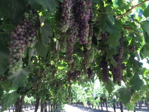 Champange Grapes 2