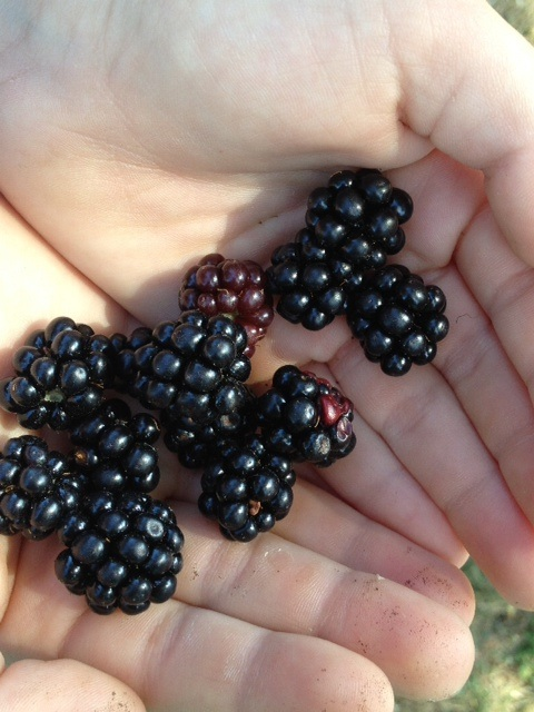 Wild blackberries are ripe and ready in Seattle. Pick now and freeze for later. Think smoothies, cobblers, healthy breakfasts for those cold dark dreary days of winter!