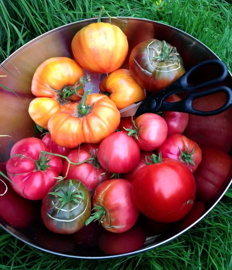 Tomato Harvest September 2015