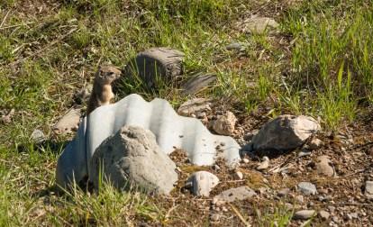 A little prairie dog playing peek-a-boo