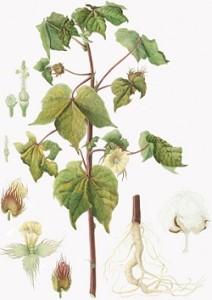 bambaki (Gossypium hirsutum)