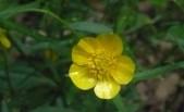 Ranunculus auricomus