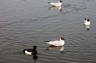 Skrattmåsar och Vigg, Råstasjön