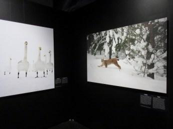 naturhistoriska-riksmuseet-utstallningen-vinnare-och-forlorare-i-svensk-natur-sangsvan-och-lo