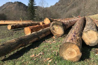 Ecorçage des troncs de sapins pour la cabane pastorale d'Aouéran