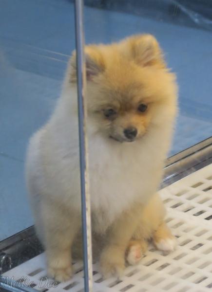Pet Store | Hong Kong | Pomeranian