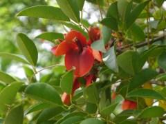 La fleur nationale de l'Argentine : la fleur de ceibo