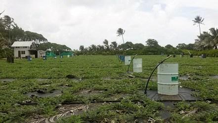 Plantations de pastèques à Huahine