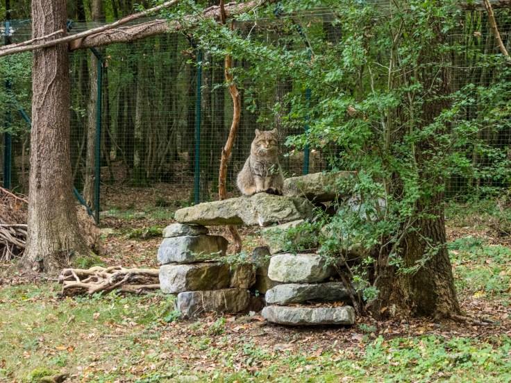 Sentier pédestre dans le Domaine des Grottes de Han: chat sylvestre