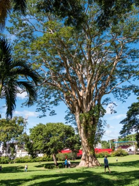 Jardin Botanique de Dominique, Roseau