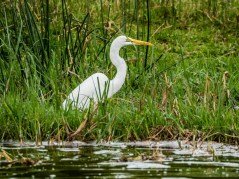 Grande aigrette, Kazinga Channel; Queen Elizabeth National Park