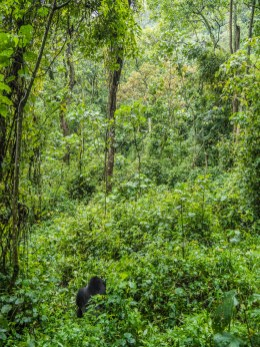 Gorille de Bwindi Impenetrable Forest,