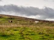 Poneys Shetland-2