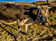 Vins d'Alsace : Auberge du Treh, vache alsacienne