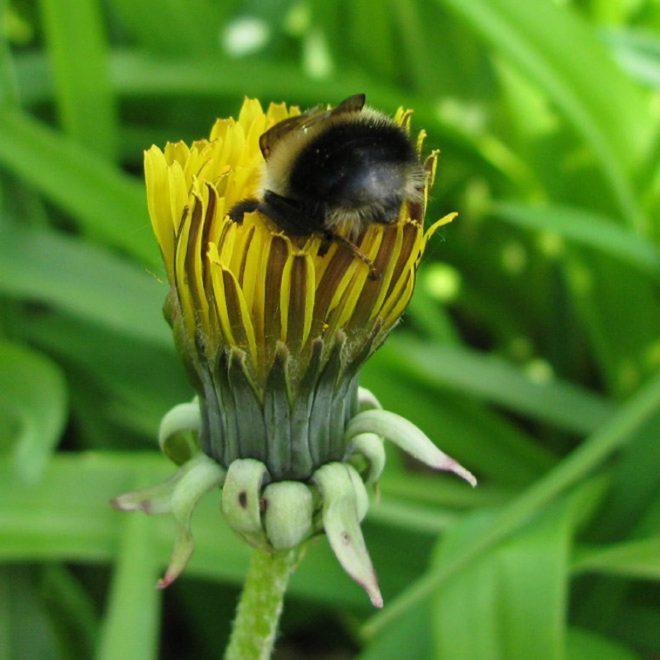 Bumblebee Bum Images