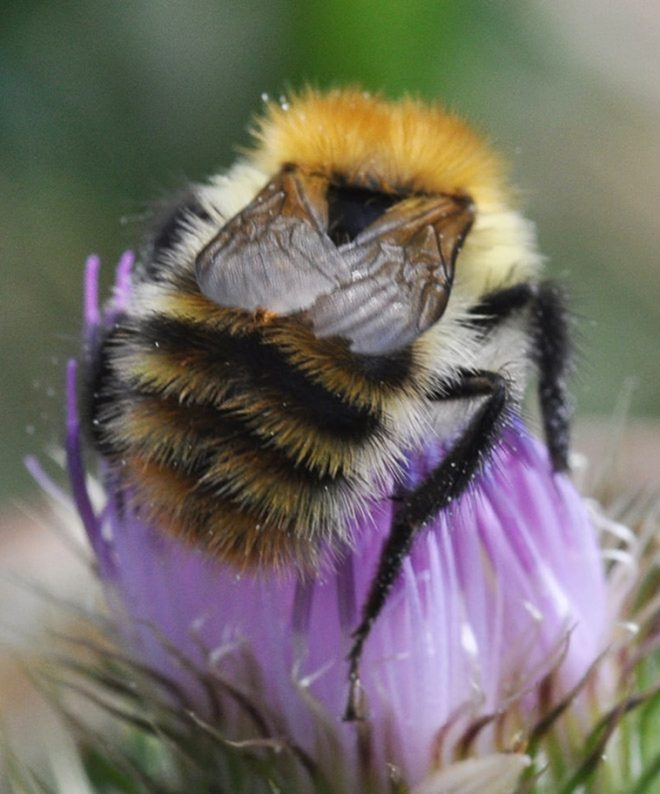 Know about Bumblebees